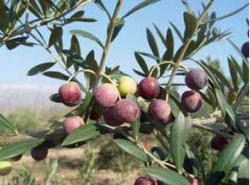 L' IRTA-Mas de Bover: Recerca i transferència tecnològica d'alguns conreus mediterranis (olivera i fruits secs).