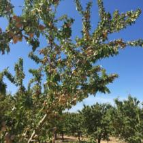 Jornada: La plantació d'ametllers en regadiu