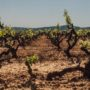 Publicat l'Informe sobre el sector vitivinícola a Catalunya del juny de 2019 de l'Observatori de la vinya, el vi i el cava.