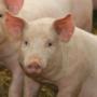 El DARP publica una ordre per establir una metodologia de càlcul del nitrogen de les dejeccions ramaderes de bestiar porcí